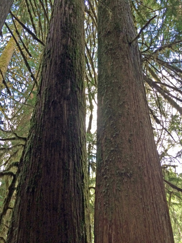 Twin towering trees