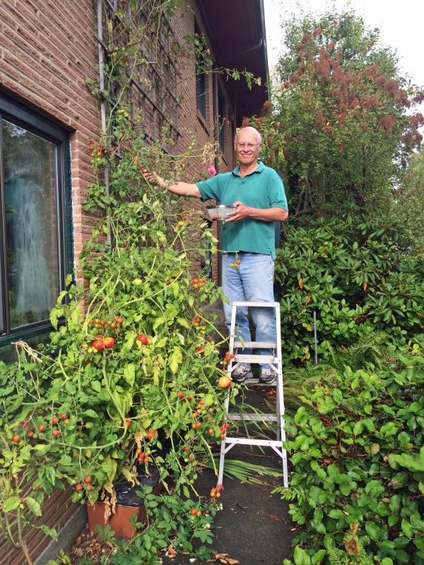 Bob harvesting tomatoes