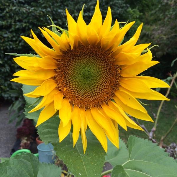 Volunteer sunflower - bloomed 7-29-16.jpg