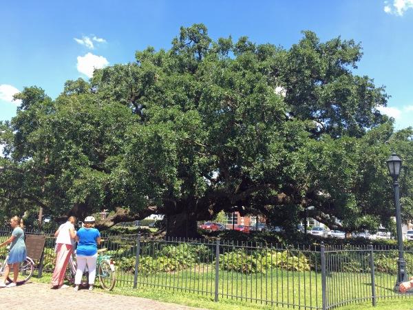Oak at St. John's
